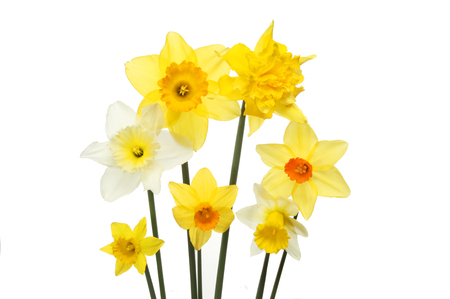 Selection of different Daffodil flowers isolated against white Stock Photo