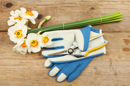 Cut and bunched Daffodils on a wooden bench with gloves and secateurs