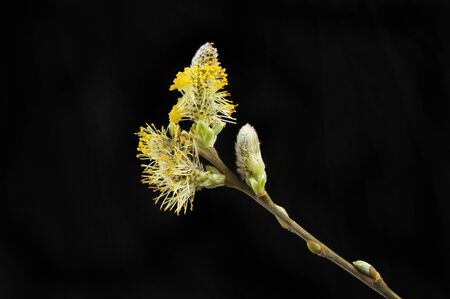 Pussy willow flower isolated against black