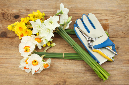 Bunches of cut Daffodil flowers with secateurs and gardening gloves on a wooden board