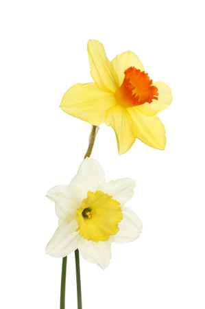 White and yellow Daffodil flowers isolated against white