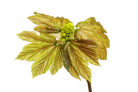 Fresh copper colored Sycamore leaves and flower bud isolated against white