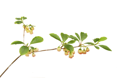 Enkianthus campanulatus flowers and foliage isolated against white