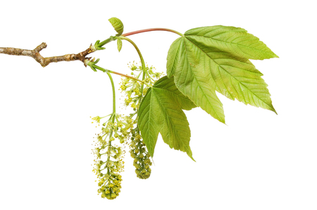 Fresh Spring Sycamore leaves and flowers isolated against white