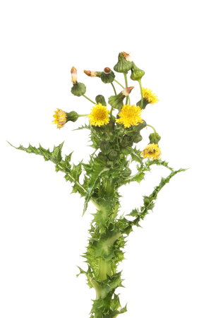 Prickly sow-thistle, Sonchus asper, flowers, buds, seed heads and prickly leaves isolated against white
