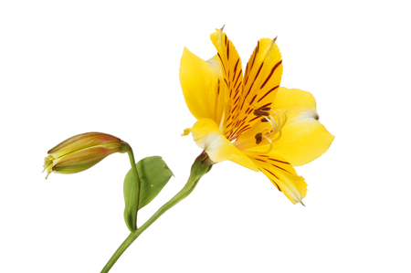 Yellow alstroemeria flower and flower bud isolated against white