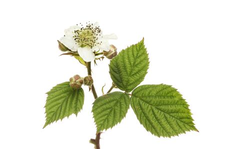 Blackberry flower and foliage isolated against white