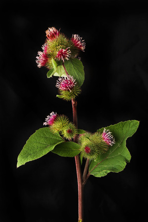 Burdock, Arctium, flowers and foliage isolated against black