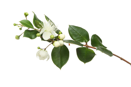 Myrtle, Myrtus, flowers and foliage isolated against white Stock Photo
