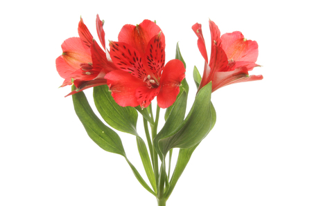 Red alstroemeria flowers and foliage isolated against white Stock Photo