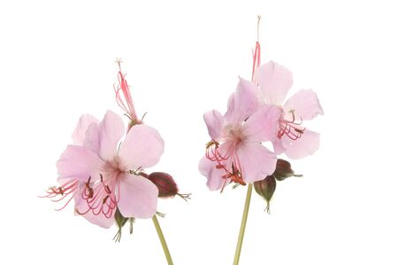 Wild geranium flowers isolated against white