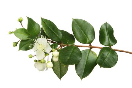 Myrte, Myrtus, fleurs et feuilles persistantes isolés contre blanc