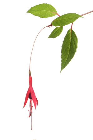 Wild fuschia flower and foliage isolated against white