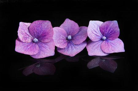 Individual hydrangea flowers with reflections on a black background