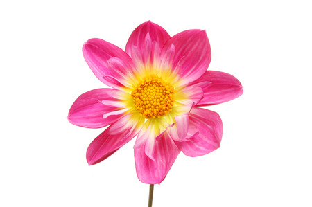 Magenta and yellow dahlia flower isolated against white Stock Photo