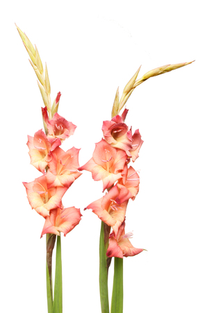Two red and orange gladioli flower spikes isolated against white