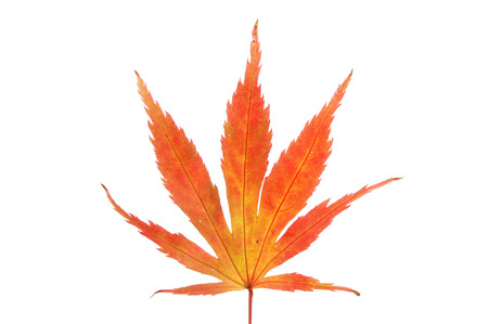Autumnal acer leaf isolated against white Stock Photo