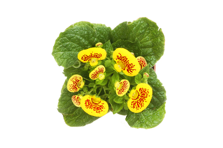 Flowering Calceolaria plant top view isolated against white Stock Photo