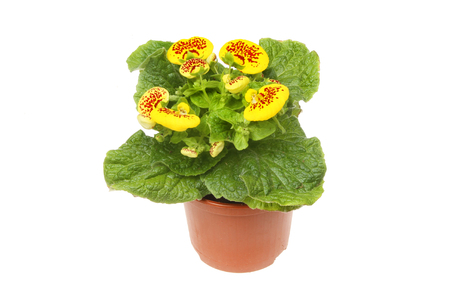 Flowering Calceolaria, Ladys purse, plant in a pot isolated against white Stock Photo