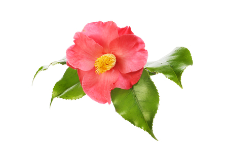 Red camellia flower and foliage isolated against white
