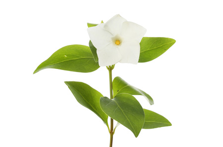 White vinca flower and foliage isolated against white
