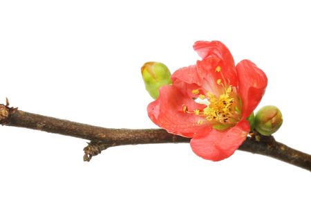 Chaenomeles flower and buds isolated against white