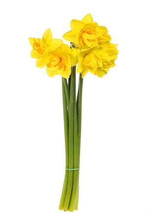 Bunch of yellow and orange daffodils isolated against white