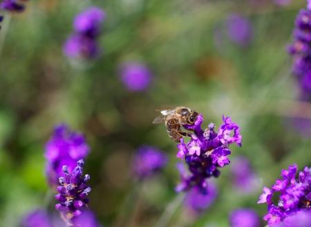 honing: Honing bij