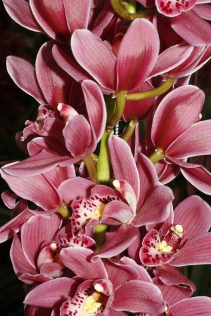 roze: Orchid string