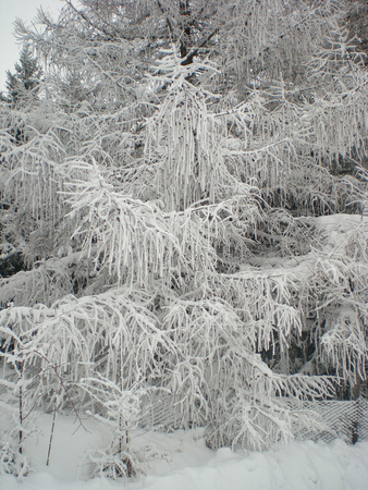 Typical winter landscape: snowy trees.