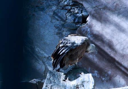 fulvus: Gyps fulvus eagle Stock Photo