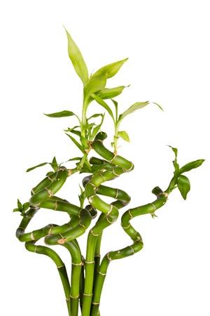Bamboo plant (Dracaena sanderiana) on white background