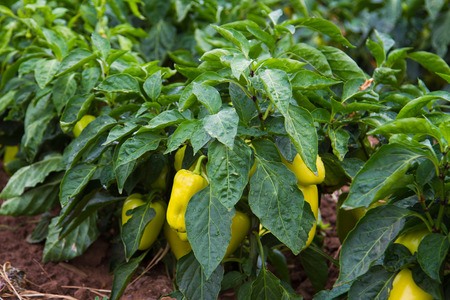 Fresh green and yellow bell pepper plant - Stock Image