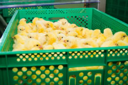 hatchery: Newly hatched chicks on a chicken farm Stock Photo