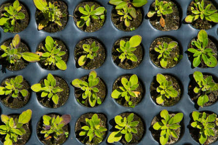 plant growth: Seedlings on the vegetable tray. Top view. Stock Photo