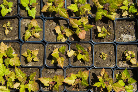 vegetable tray: Seedlings on the vegetable tray. Top view. Stock Photo