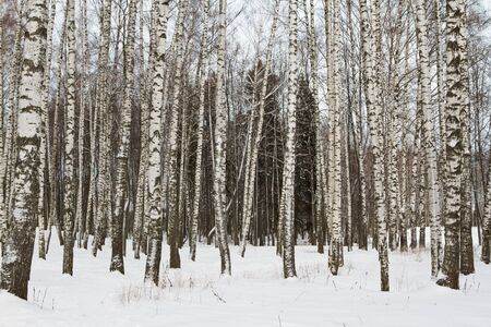 frozen trees: Winter frozen trees. Winter in birch forest.