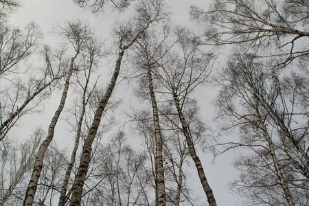 below: Winter trees from below. In the winter woods.