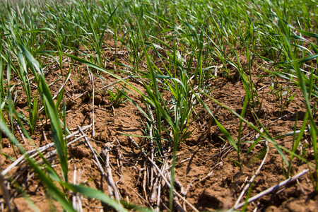 winter wheat: Winter wheat seedlings close-up in the spring on a sunny day