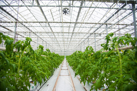 ripening: Tomatoes ripening on hanging stalk in greenhouse Stock Photo