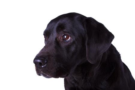 Le chien labrador noir isolé sur blanc