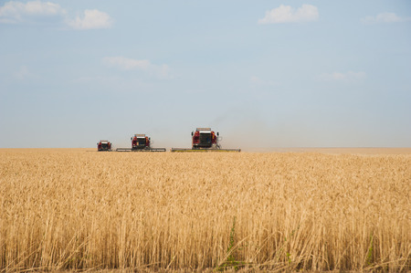 harvesters: Combine harvesters in a field of wheat to harvest