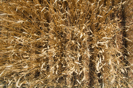 foreground: Field of ripe wheat. Close-up. Focus on foreground