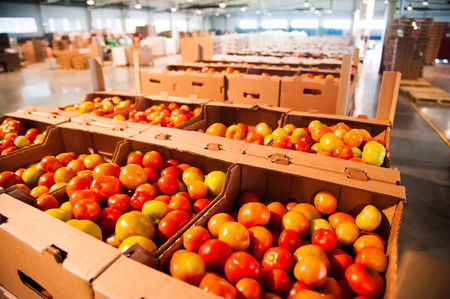 Sorting and processing red tomatoes on vegetable processing factory
