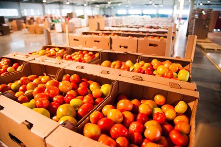Tri et transformation des tomates rouges sur l'usine de transformation de légumes Banque d'images - 69169729