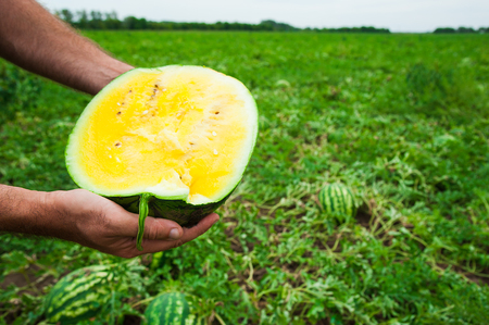 Farmer holds a ripe watermelon with yellow pulp. Harvest the natural watermelon. Watermelon field