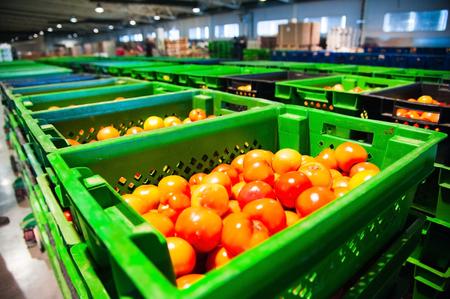 並べ替えおよび野菜加工工場の赤いトマトの処理