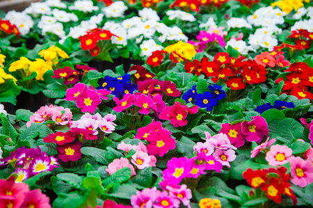 Rows of colorful primulas in a greenhouse. Agribusiness greenhouse seedling spring. Stock Photo