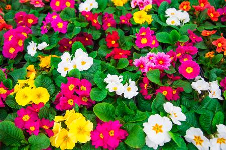 Rangées de primevères colorées dans une serre. Printemps des semis de serres agroalimentaires. Banque d'images - 73525084