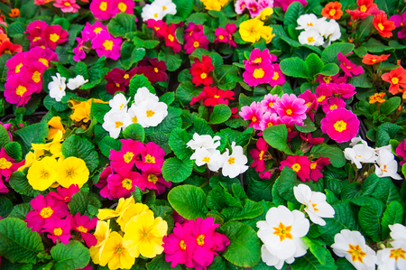 Rows of colorful primulas in a greenhouse. Agribusiness greenhouse seedling spring. 免版税图像